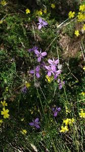 purple flowering australian native plants 12 best wa plants images on pinterest native plants australian