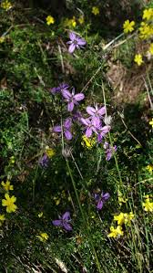 australian native plants with purple flowers 12 best wa plants images on pinterest native plants australian