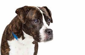 american pitbull terrier dalmatian mix boxer pitbull mix a k a bullboxer pit ultimate home life