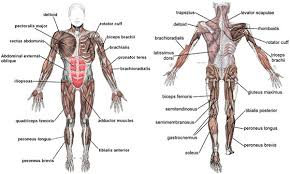 Full Body Muscle Anatomy Human Body Systems Best Mens Muscle Anatomy At Best Anatomy Learn