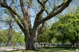 5 original olmsted trees architect of the capitol united