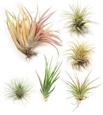 94 best air plants images on pinterest indoor plants air plant