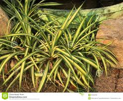 Spider Plant Chlorophytum Comosum Or Spider Plant Or Ribbon Plant Stock Photo