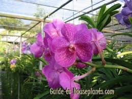 vanda orchids vanda orchid indoor care tips