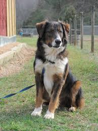 australian shepherd upstate ny english shepherd dog photo english shepherd information and