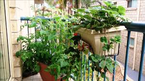 martys garden our story from balcony vegetable gardening to