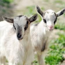 pair of goats gfm ministries