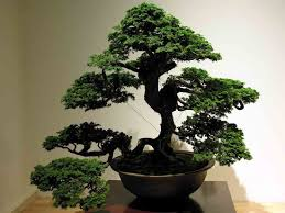 bonsai tree care and challenges of growing indoor plants expert