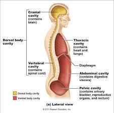 intro to human anatomy image collections learn human anatomy image