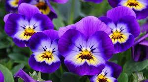 fiori viola viola il fiore e le sue propriet罌 idee green