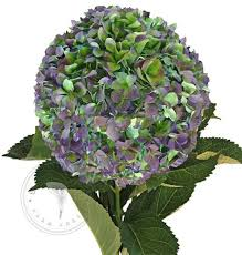 Bulk Hydrangeas Shop Wholesale Jumbo Natural Hydrangeas Free Shipping Nationwide