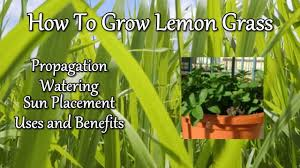 How To Do Landscaping by Garden Design Garden Design With Lemongrass Plants Buy Online The