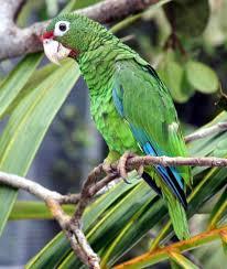 puerto rican amazon wikipedia