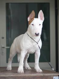american pitbull terrier white with black spots best 25 bull terriers ideas on pinterest mini bull terriers