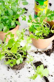 how to plant a potted kitchen garden thou swell