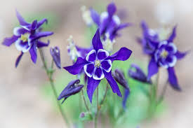 Blue Lotus Flower Meaning - columbine flower meaning flower meaning