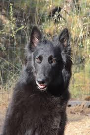 belgian sheepdog association planned breeding in 2017