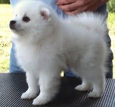 american eskimo dog calgary american eskimo dog pearl e mae u0027s early life