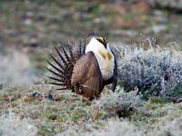 native nevada plants call to action for nevada u0027s sage grouse friends of black rock