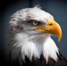 Alaska Birds images Alaska our bald eagle picture of world of wings birds of prey jpg
