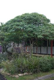 australian native hedging plants mallee design