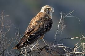 brown falcon birds in backyards