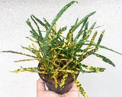 Indoor Plant For Office Desk Desk Plant Etsy