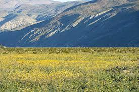 anza borrego wildflowers anza borrego desert state park wildflower reports desertusa