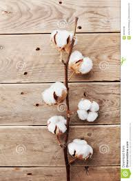 Wooden Table Top View Beautiful White Cotton Flowers On Rustic Wooden Table Top View