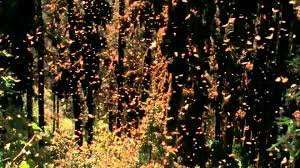 monarch butterflies amazing migration to mexico youtube
