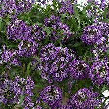Fragrant Shade Plants - lobularia u0027lavender stream u0027 fragrant blooms all summer full