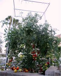 raise healthy tomatoes in the waterboxx plant cocoon projects