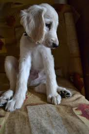 afghan hound dogs 101 408 best my love of afghan hounds images on pinterest afghans