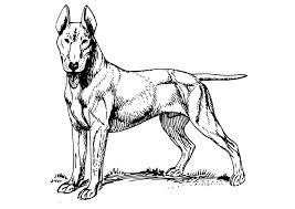 coloring dog bull terrier img 18574