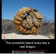 Lizard Meme - this armadillo lizard looks like a real dragon didyouknowpagel