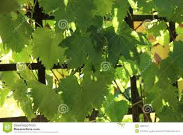 grapevine growing on a trellis stock image image 32824541