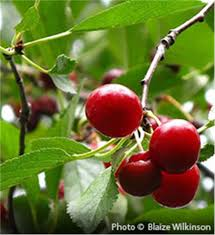 buy affordable montmorency cherry trees at our nursery