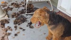airedale terrier puppies for sale s u0026 s family airedales my