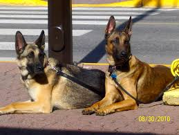 Pet Photo Albums Photo Albums U2014 German Shepherd Dog Club Of Edmonton