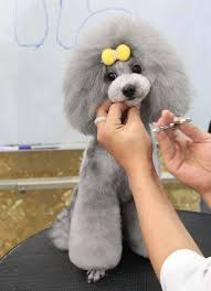 different styles of hair cuts for poodles 28 best french poodle hair cuts images on pinterest poodles