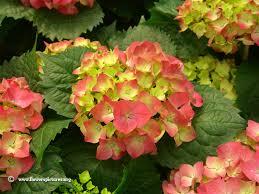 hydrangeas flowers hydrangea flower picture