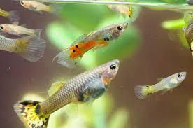 pregnant guppy fish lovetoknow