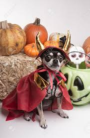 cute chihuahua dressed in devil costume for halloween stock photo