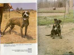 american pitbull terrier heat cycle gr ch chavez u0027 llantas bis 5xw sporting dog news