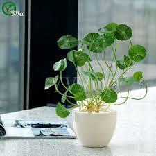 pilea seeds 100pcs bag copper grass cold water indoor putdoor pot