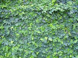 green up a wall with creeping fig ficus pumila ficus and plants