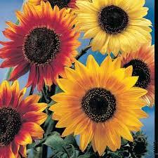 2g approx 100 ornamental sunflower seeds helianthus annuus