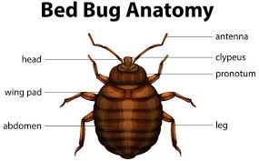 What Do A Bed Bug Look Like 20185301 Illustration Of The Bed Bug Anatomy Stock Vector Jpg