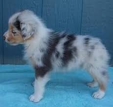 black n blue australian shepherds 1203 best babies images on pinterest animals cats and baby
