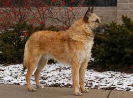 belgian sheepdog laekenois belgian laekenois dog breed information american kennel club